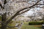 淡路島公園〜桜が満開