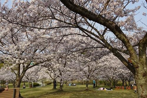 淡路島公園〜今年は早めの開花でした
