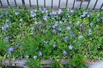 青い花 満開