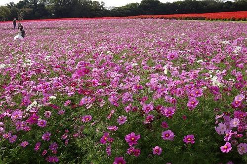 秋の花さじき5 コスモス