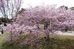令和3年(2021年)3月第4週 桜