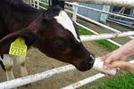 子牛にミルクやり