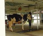 牛ってこんなに大きい!