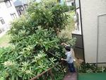 枇杷の木の剪定