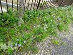 教会の花壇 蔓日々草とハーブ